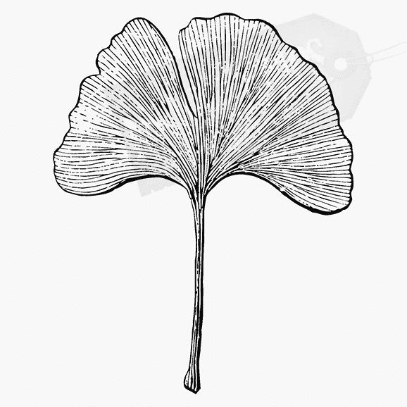 Florales Motiv Gingkoblatt